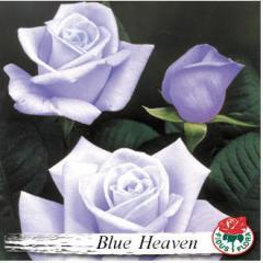Рози BLUE HEAVEN