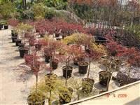Градински растения Acers Palmatum Dissectum