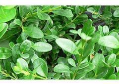 Вечнозелени широколистни храсти