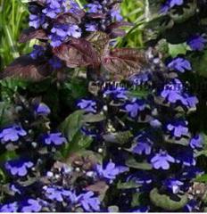 Растения за алпинеум
