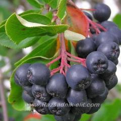 Разсад фиданки и дръвчета Арония-Aronia