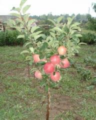Ябълка
