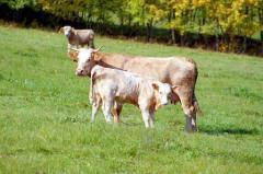 Крави, телета
