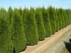 Дърво Туя