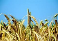Зърнени култури Ечемик