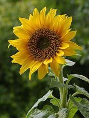 Слънчогледови семена Faro