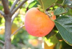 Persimmon seedlings