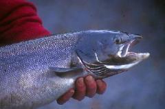 Фураж за риба
