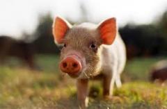 Pedigree-pig