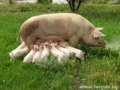 Свиня майка кърмеща