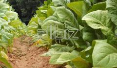 Тютюни / Tobacco Type Virginia on leaves