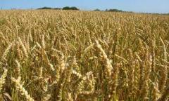 Семена от пшеница