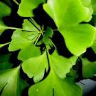 Extract of Ginkgo biloba