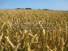 Пшеница Аглика 40 кг.