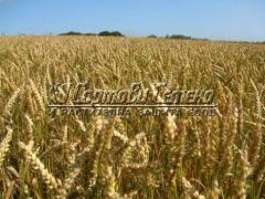 Пшеница Милена 40 кг.