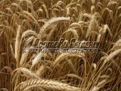 Пшеница Победа 40 кг.