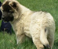 Кученца овчарка
