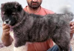 Кученца Кавказка овчарка