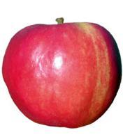 Дърво ябълка Джонаголд