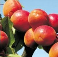 Дърво праскова Ориндж Ред