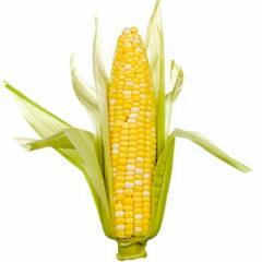 Хибрид царевица