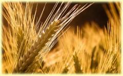 Пшеница за сеитба LG Андино