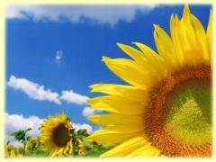 Sunflower sown seeds