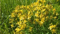 Стръкове от Жълт кантарион