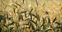 Семена твърда пшеница