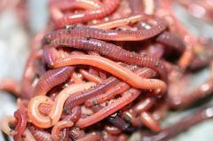 Червени калифорнийски червеи Биомаса