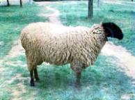 Плевенска черноглава овца