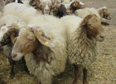 Българска млечна овца