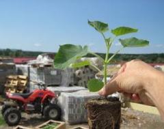 Seedlings of vegetable crops