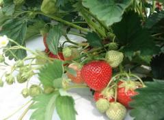 Разсад  ягоден