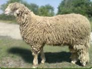 Бяла маришка овца