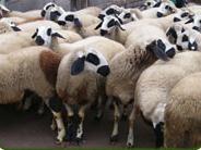 Вакла маришка овца