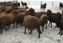 Медночервената шуменска овца