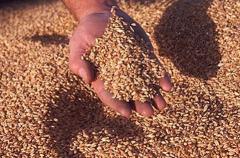 Зимна пшеница сорт Болярка