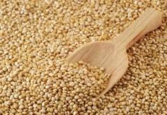 Семена от люцерна