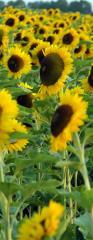 Слънчоглед, слънчогледово семе