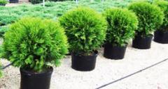 Храсти за озеленяване