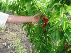 Плодове череши от сорт Канада Джант