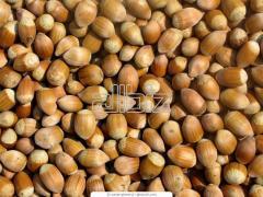 Filbert seedlings