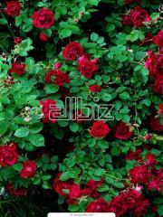 Болгарские розы купить саженцы цветы на заказ мурманск