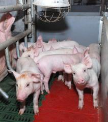 Pigs of meat breeds