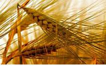 Търговия с пшеница