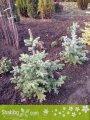 Picea pungens, Сребрист смърч