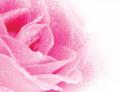 Природен продукт от рози