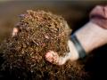 Размножителен материал от Червения калифорнийски червей