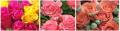 Рози бели, червени, розови, жълти